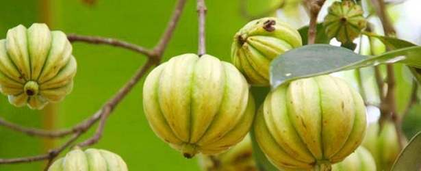 The Garcinia Cambogia Fruit